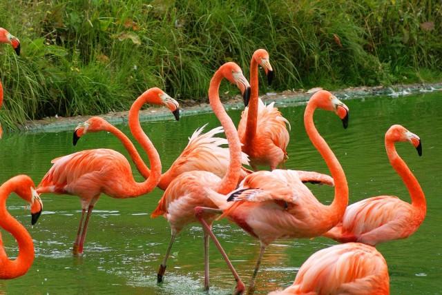 Caribbean_flamingo