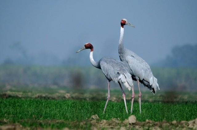 Sarus-Crane-Syed-F-Abbas-950x629
